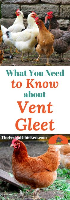 Vent gleet is a stinking disgusting infection, and you HAVE to help your backyard chickens if it strikes. Here's what you need to know.