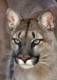 Cougar/Mountain Lion, Taken at the Wildlife Heritage Foundation, Kent, United Kingdom (Photo by Brett Terry) Big Cats, Cool Cats, Cats And Kittens, Cats Bus, Siamese Cats, Nature Animals, Animals And Pets, Cute Animals, Wild Animals