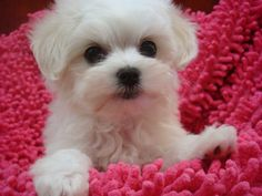White #Dog Small #Cute Puppy .