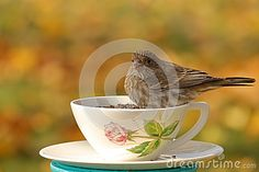 A female House finch eats birdseed from a pretty teacup.