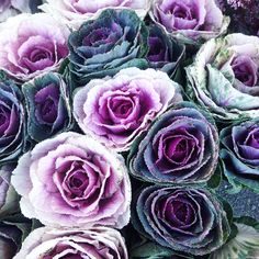 Ornamental cabbage flowers in shades of purple, pinks and greens, freshly picked by stallholder Ulla's Flowers. #cabbageflowers #ornamentalcabbages #unusualvegetables #ornamentalvegetables #yourlocalmarkets #ullasflowers