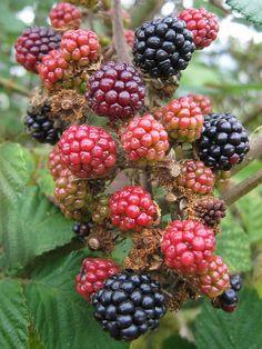I'll be picking blackberries for jam in a few weeks!