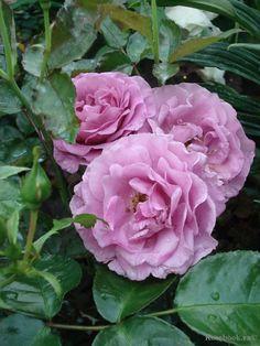 Hybrid Tea rose 'Blue Perfume', Tantau Germany, 1977