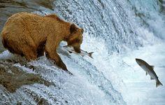 Brown Bear standing on top of Brooks Falls, Katmai National Park in Alaska Bear Fishing, Fly Fishing, Fishing Trips, Sport Fishing, Wildlife Photography, Animal Photography, Pescado Salmon, Alaska Salmon Fishing, Animals Beautiful
