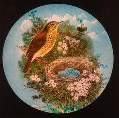Thrush with her Eggs Nesting British Birds Lantern Slide Hand coloured Egg Nest, Hand Coloring, Lanterns, British, Eggs, Birds, Painting, Painting Art, Lamps