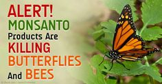 "This links to Dr. Mercola's article: ""Taxpayer Money Helps Pay for #Monsanto Devastation."" http://articles.mercola.com/sites/articles/archive/2015/02/24/monarch-butterfly-glyphosate.aspx #glyphoaste #savethebees"