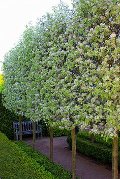 pear tree hedge... these are non fruit bearing which is important (fruit draws all kinds of critters, etc.).  I use these all over my yard.... they also keep their leaves into late Nov/early Dec!!!!! and already they have buds for last couple of weeks and bloom early!!!  Also, max height is 30 feet; about height of 3 story home.... no more huge trees for me that eventually start falling apart. These trees are perrrrrrrfect in every way!!!!!!!