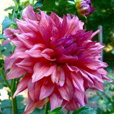 Laciniated Dahlia (Dahlia 'Jennifer Lynn')