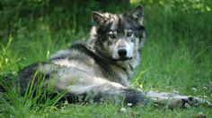 Possible New Wolf Pack Discovered In Eastern Oregon · EarthFix · Oregon Public Broadcasting