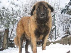 Mountain Pyrenean Portuguese Water Dog | Add photos Beautiful Estrela Mountain dog in your blog: