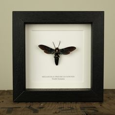 Giant Scoliid Wasp in Box Frame (Megascolia Procer)