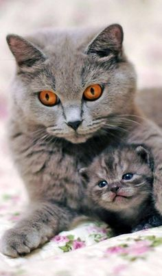 Silver blue Grey mother cat and kitten