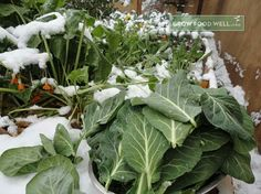How to grow organic food in small spaces effectively. Starting A Vegetable Garden, Organic Recipes, Cabbage, Gardening, Canning, Vegetables, Winter, Winter Time, Lawn And Garden