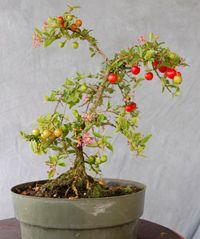 Barbados Cherry Bonsai Tree $49.00