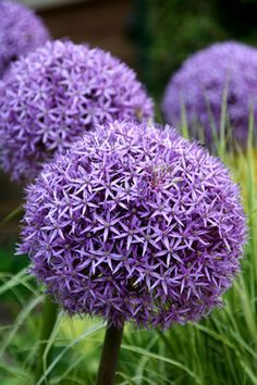 Allium 'Globemaster' 0.8m. Full sun. Fully hardy. Flowers in July.  £10 from Crocus.