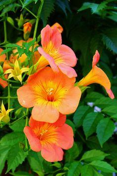 Flower Outdoor Plants, Garden Plants, Orange Flowers, Beautiful Flowers, Flower Pots, My Flower, Hanging Flower Baskets, Pergola Pictures, Flowering Vines