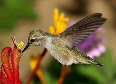 Hummingbird & Kangaroo Paws Flower  :Reg Saddler
