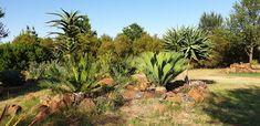 E.princeps  Vaal Retreat  Nov 2018 Plants, Plant, Planets