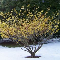 Hamamelis mollis 'Pallida' - (behind and to the right of boulder and willow) Garden Plants, Garden Shrubs, Trees To Plant, Laurel Plant, Shade Garden, Winter Garden, Winter Plants, Ornamental Trees, Plants