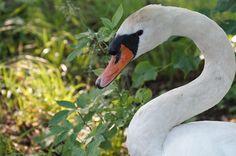 Swan, Natuur, Vogel, Zwanenhals