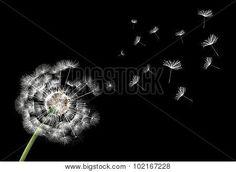 Flower Dandelion On A Black Background