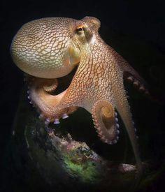 Octopus 86