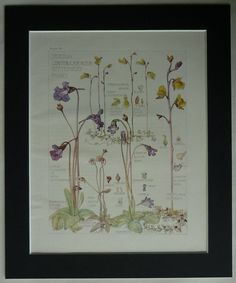 Antique Botanical Print Carnivorous Plants by PrimrosePrints