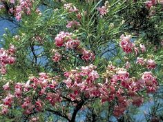 Desert Willow. Scientific Name: Chilopsis linearis. Desert-willow is a 15-40 ft., slender-twigged, small tree or large shrub, often with leaning, twisting trunk and open, spreading crown. Leaves are deciduous, willow-like, light green, both opposite and alternate, 4–12 inches long and 1/3 inch wide. The blossom is funnel-shaped, 1–1 1/2 inches long, spreading at the opening into 5 ruffled, petal-like lobes. The flower is dark pink or purple.