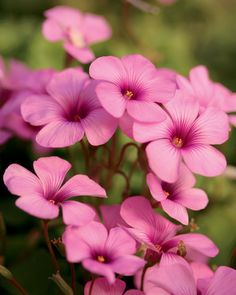 Cottage Pink Wood Sorrel