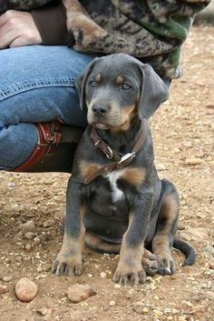 Cute Blue Lacy Dog