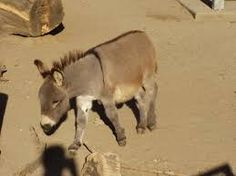 Image result for goat and donkey, bull pictures
