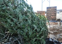 Time to dispose of your Christmas trees http://ow.ly/gviJ8