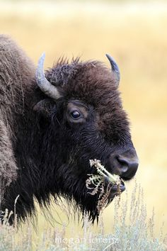 do bison eat meet