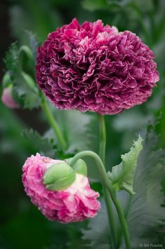 Papaver somniferum 'Flemish Antique' ornamental poppy. A group of ornamental poppies, quite diverse in form, very tall and robust. The extremely double peony-flowered forms often require that you manually remove the calyx to allow them to open fully.