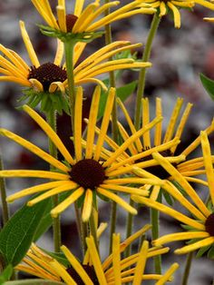 """Rudbeckia Henry Eilers - Tall 4-5' (Plant 24"""" apart),   Blooms Early Summer to Early Fall;  Full Sun; Zones 4-8;   Soil: Normal, Sandy; $9.95 www.bluestoneperennials.com"""