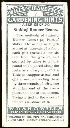 The other side of the bean growing Cigarette card. This side includes gardening information and instructions