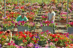 Guernsey in bloom