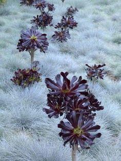 Aeonium Schwartzkopf and blue fescue grass. Gorgeous effect, as if rising through the sky