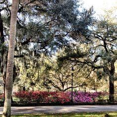 Azaleas beginning to bloom in Forsyth Park - 2/29/12 Savannah, GA