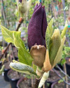 Magnolia brooklynensis  'Black Beauty'