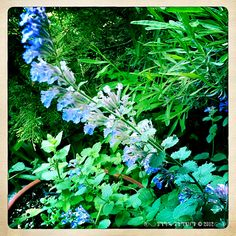 .: Cat Mint Blossoms :.  From The Arte of Lady Straif. Photo by Kerry Ryan Simmons © 2012.