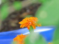 Watering flowers in my Garden