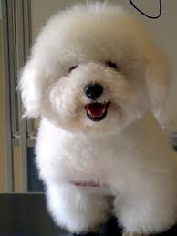 mini toy poodle - Google Search Mini Dogs, Poodle, Teddy Bear, Toys, Animals, Google Search, Dogs, Activity Toys, Animales