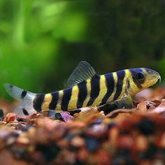 Summary: Many people are delighted by keeping live and colorful tropical fish at their home. Countless species of fish are kept at home as pets. There are several Tropical fish online stores that sell tropical fish online. Tropical Fish Aquarium, Tropical Freshwater Fish, Freshwater Aquarium Fish, Fish Aquariums, Pez Botia, Plecostomus, Brine Shrimp, Fresh Water Tank, Lovely Creatures
