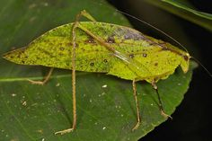 Leaf insects occur from South Asia through Southeast Asia to Australia. All species of leaf insects are about 60 mm (2.3 inches) long and range from India to the Fiji Islands. These are related to the stick insects in the family Phasmatidae. Leaf insects are native to the tropics of the Eastern Hemisphere. This species of leaf insect eats blackberries, rose and oak leaves.