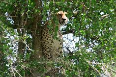 BIG Tree Climbing Cats of the Serengeti
