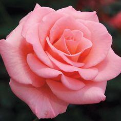 Flawless® Flora-Tea Rose