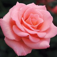 Flawless ~ Miniature Rose