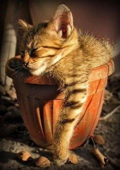 Adorable cute cat sleeping in a pot. Cute Kittens, Cats And Kittens, Ragdoll Kittens, Kitty Cats, Bengal Cats, Baby Kitty, Tabby Cats, Baby Animals, Funny Animals