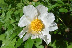 White wings – pioni | Vesan viherpiperryskuvat – puutarha kukkii